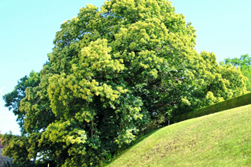 European Tree of the Year? The 'Four Trunked Chestnut Tree'