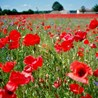 'In Flanders Fields the Tourists Flow' by Dr John Greenacre